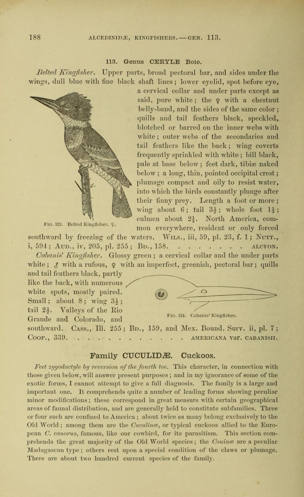 black and white illustration of a female belted kingfisher perched on a branch